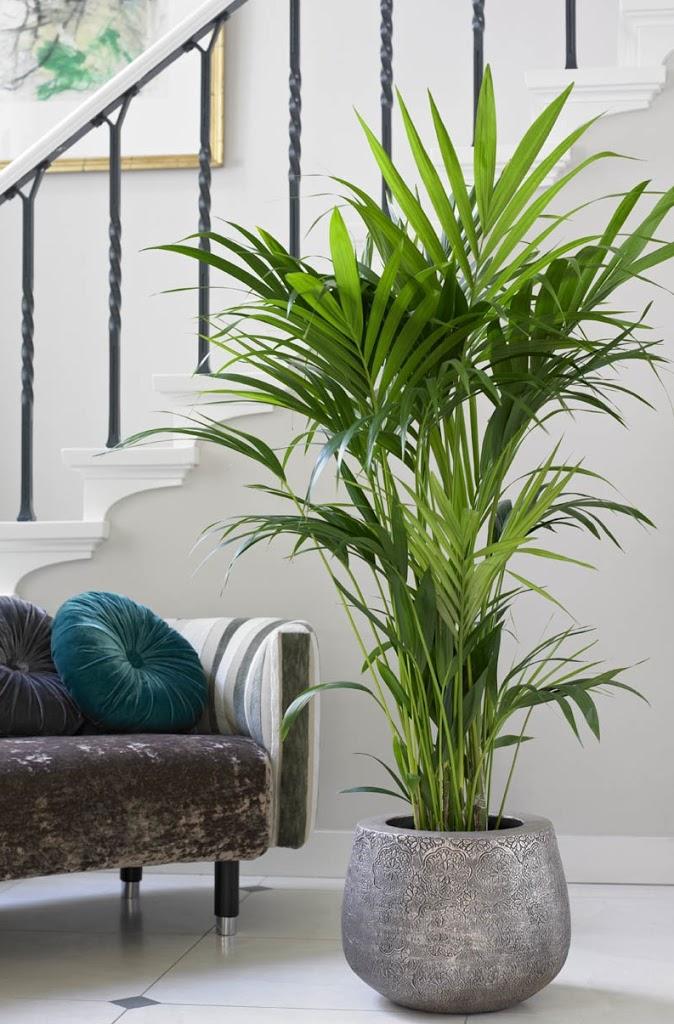 9 zasad jak uprawia palmy pokojowe bambusowy sen. Black Bedroom Furniture Sets. Home Design Ideas